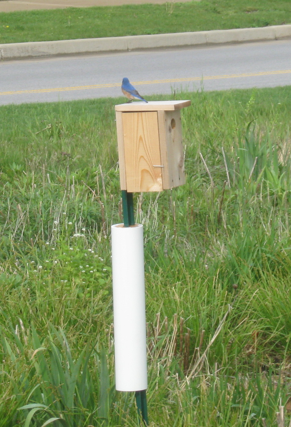 Blue birds nesting at Sturdy Road roundabout