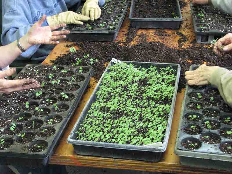 seedlings for transplanting in greenhouse